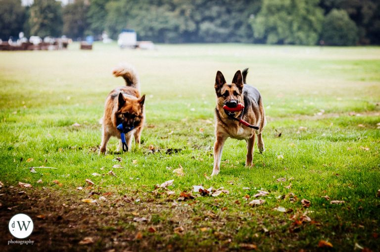 Two Alsatian dogs playing