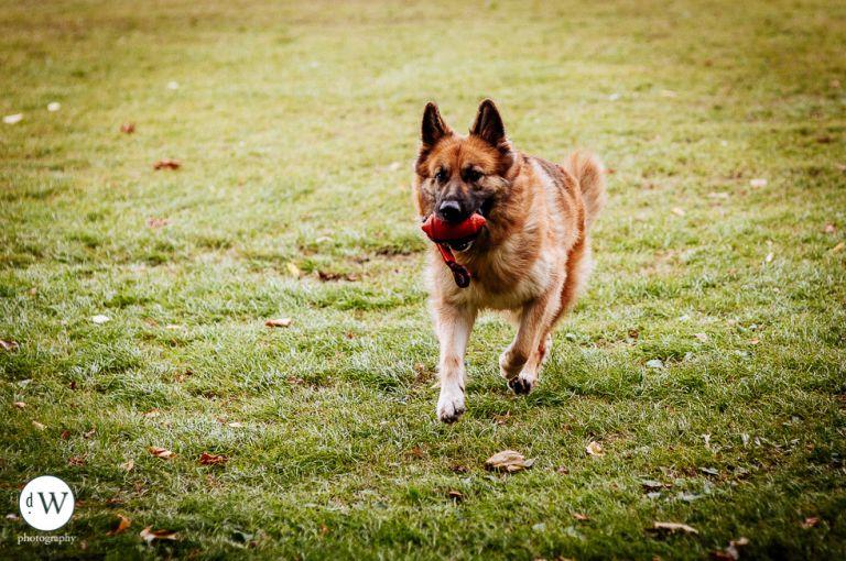 Alsatiian dog running