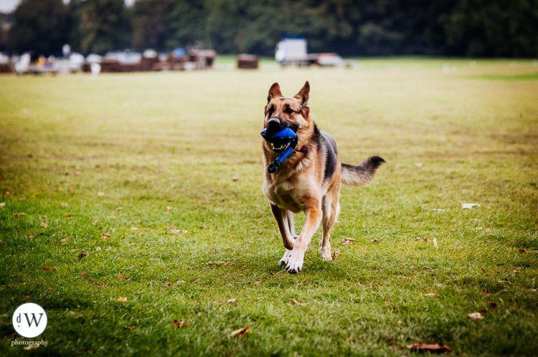 Alsatian dog fetching ball