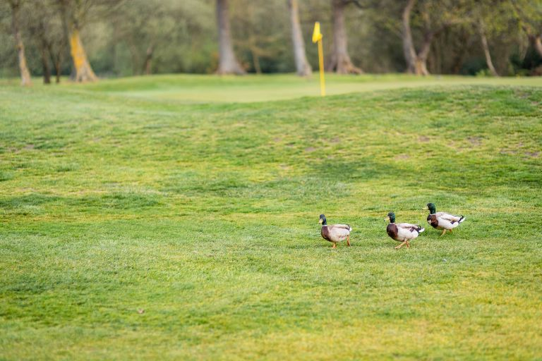 Ducks on golf course